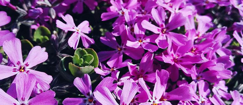 Blumenwiese lila violett