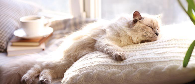 Welche Katze als Wohnungskatze