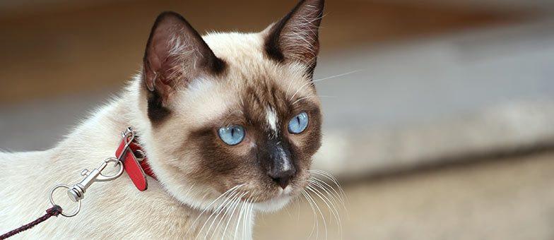 Katze an Leine gewöhnen