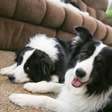 Hundehaare entfernen Sofa