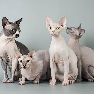 nacktkatzen liste aller katzenrassen ohne fell tierisch wohnen. Black Bedroom Furniture Sets. Home Design Ideas