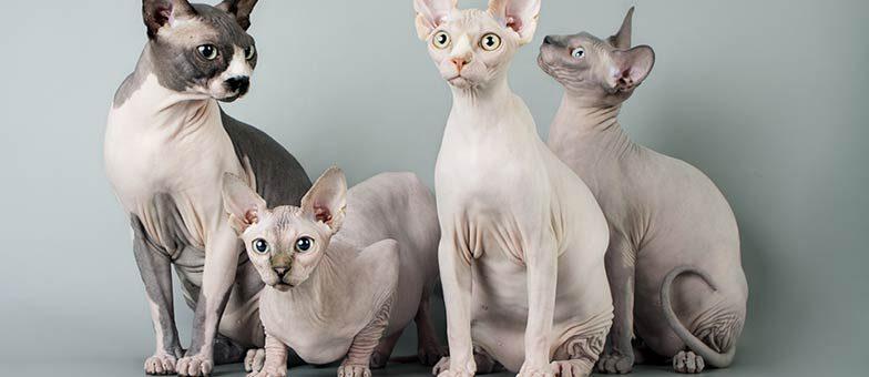 Katzenrassen ohne Fell
