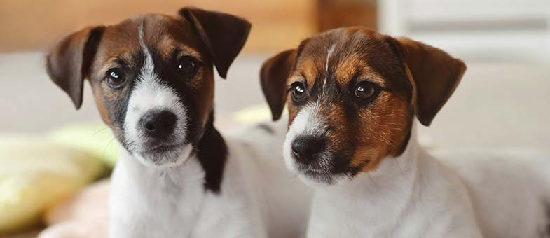 Zwei Hundwelpen