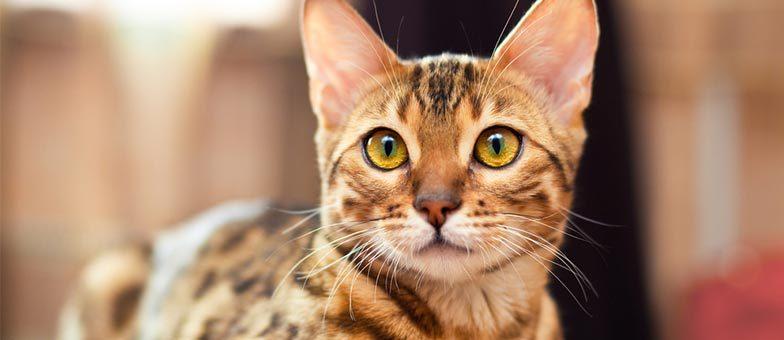 Fellpflege Bengalkatzen