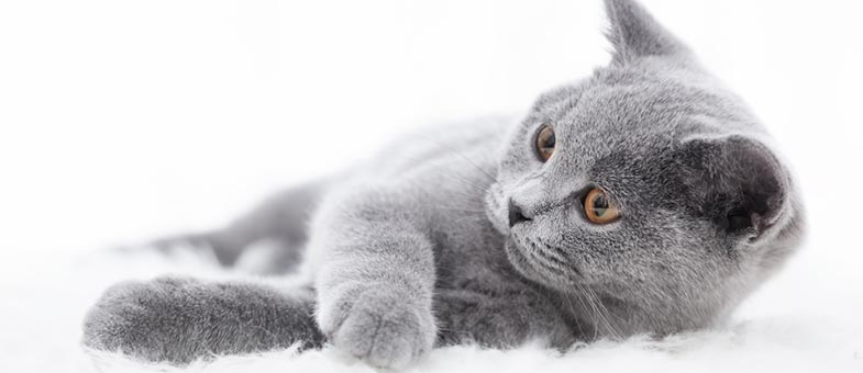 Fell pflegen British Kurhaar Katze