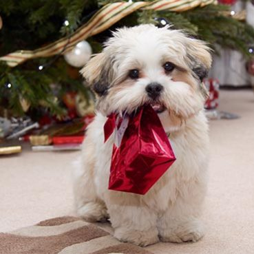 Hund mit Weihnachtsgeschenk im Maul