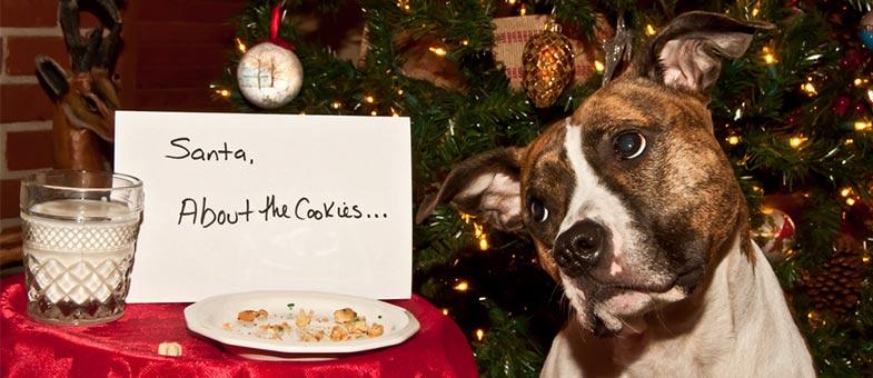 Hund frisst Schokoladen Cookies