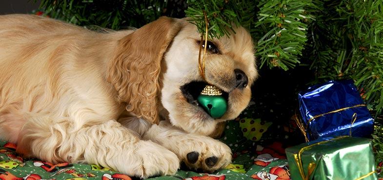 Hund knabbert an Weihnachtsdekoration
