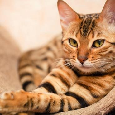 Fellpflege Bengalkatze