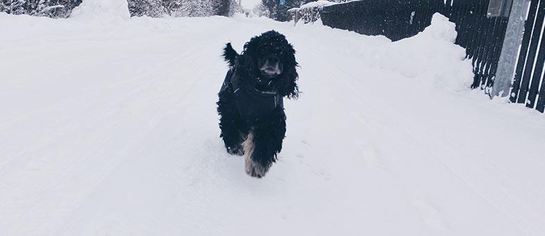 Hund beim Training im Schnee