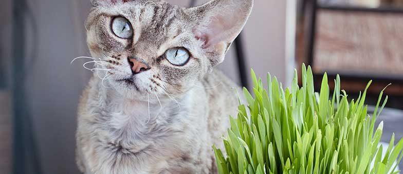 Katzengras für die Katze