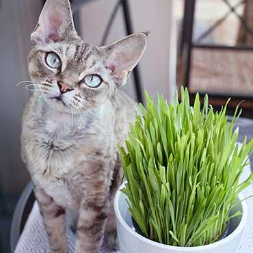 katzengras selber pflanzen aussaat pflege tierisch wohnen. Black Bedroom Furniture Sets. Home Design Ideas