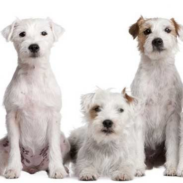 Fellpflege des Parson Russell Terriers