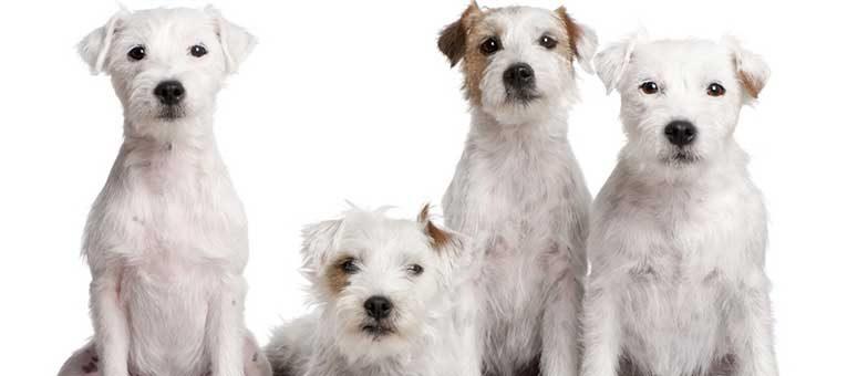 Fellpflege beim Parson Russell Terrier