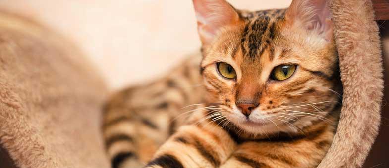 Bengalkatze haart wenig