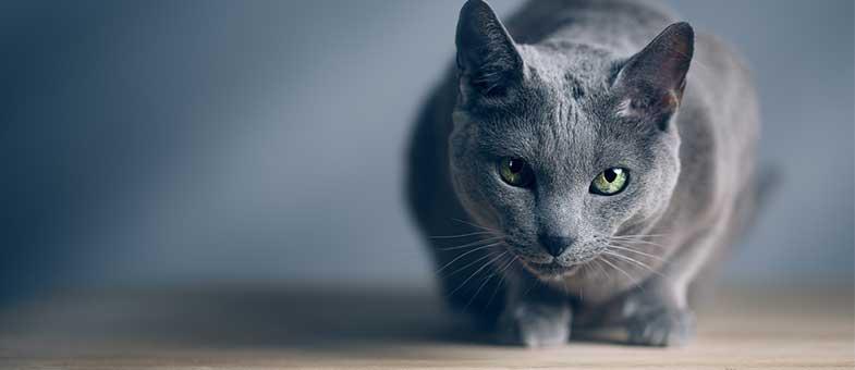 Blaue Katze, die wenig haart