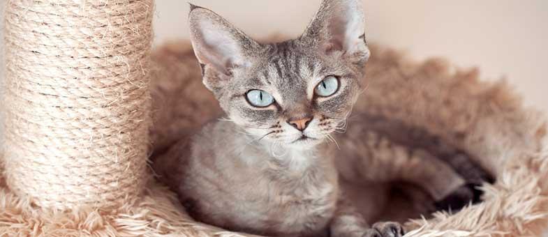 Devon Rex Katze haart wenig