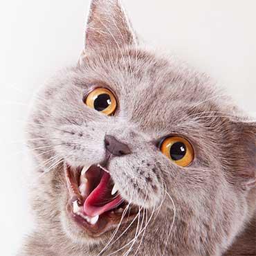 warum fauchen katzen tierisch wohnen. Black Bedroom Furniture Sets. Home Design Ideas