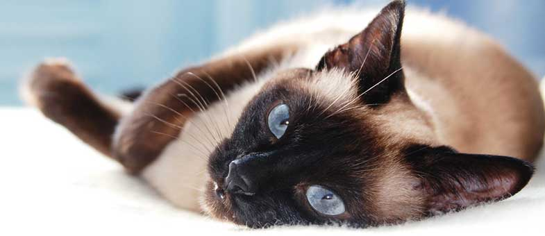 Katzenrassen die wenig Haare verlieren