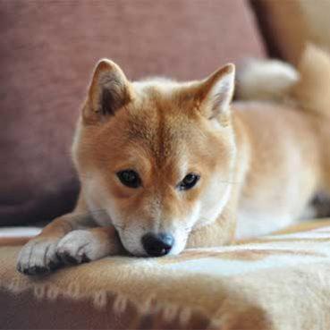Sofa von Hundehaaren befreien