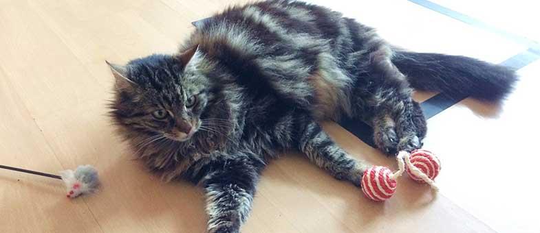 Katze spielt in Wohnung