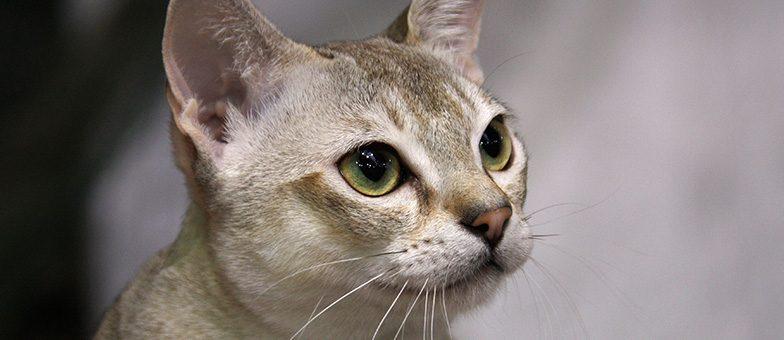 Singapura Katze