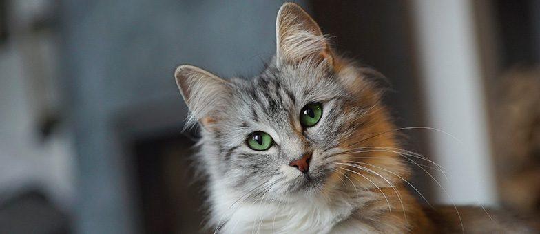 Fell der norwegischen Waldkatze richtig pflegen