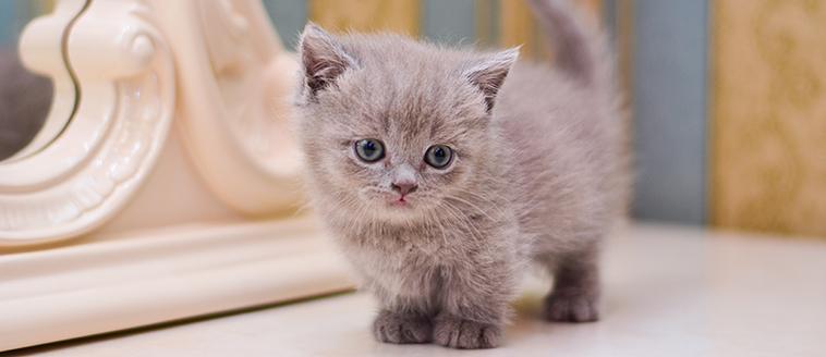 Ein Bild einer Munchkin Katze