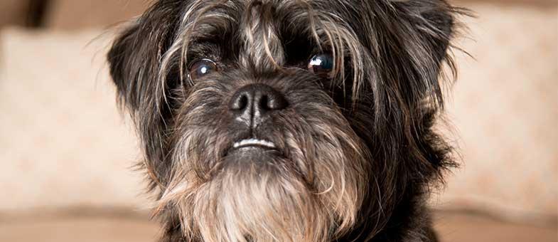 Affenpinscher Hund