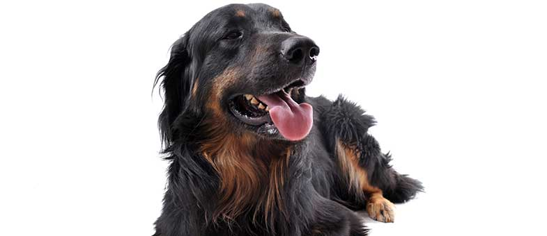 Hovawart Hund