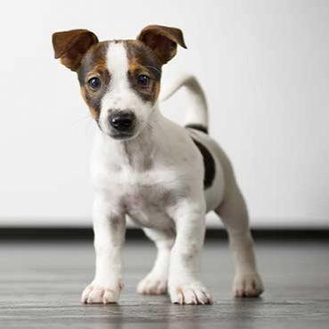 Was bedeutet Schwanzwedeln beim Hund?