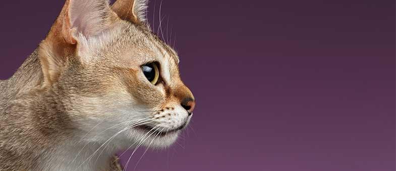 kleinwüchsige katze kaufen