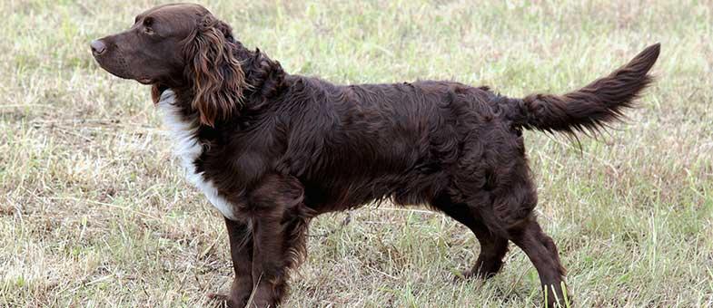 Deutscher Wachtelhund erinnert an Spaniel