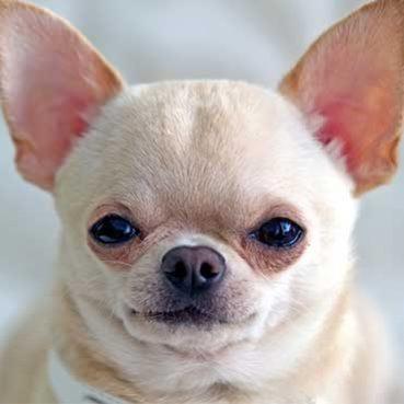 Hundeohren richtig pflegen: Tipps und Tricks