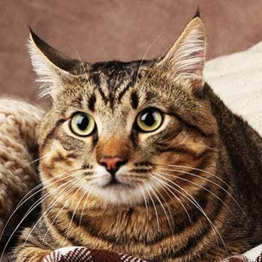 Katzenohren säubern
