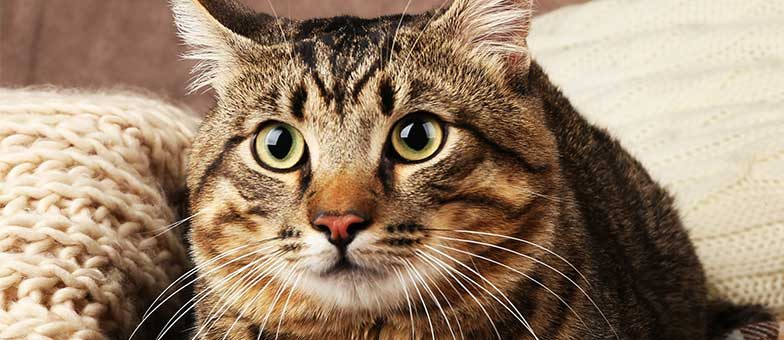 Katzenohren sauber halten