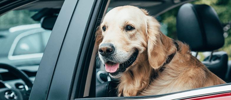 Hund schaut aus dem Autofenster
