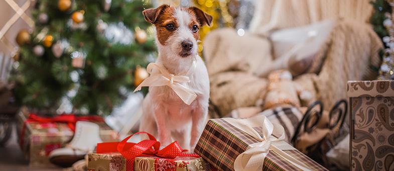 Hund hat Weihnachtsschokolade gefressen